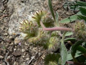 Silver-leaf Phacelia, White-leaf Phacelia
